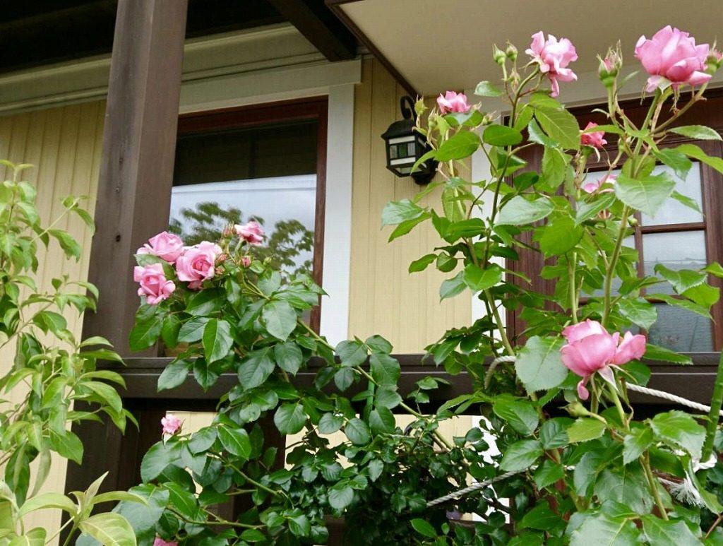 木立ち性 の ピンク の バラ